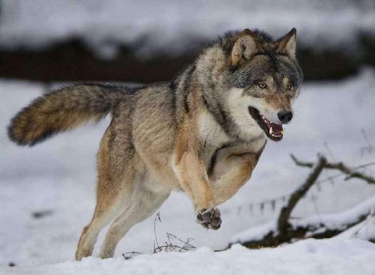 сколько км в час бегает волк