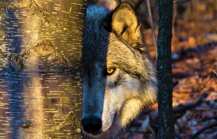 в какой среде обитания обитает волк