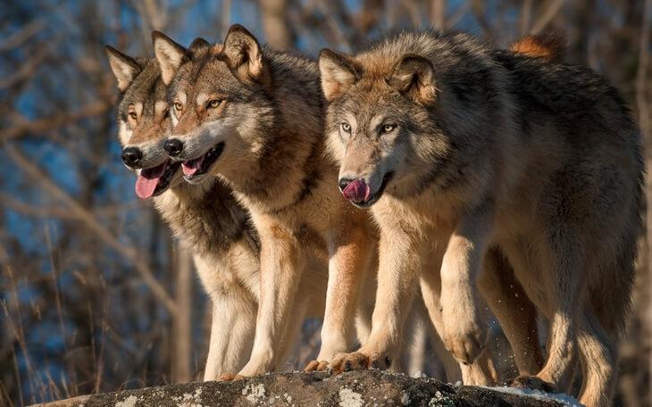 в какое время охотятся волки