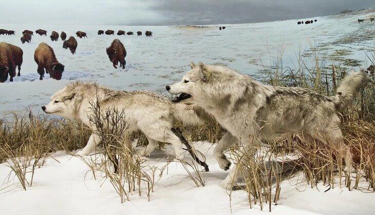 что жрет волк