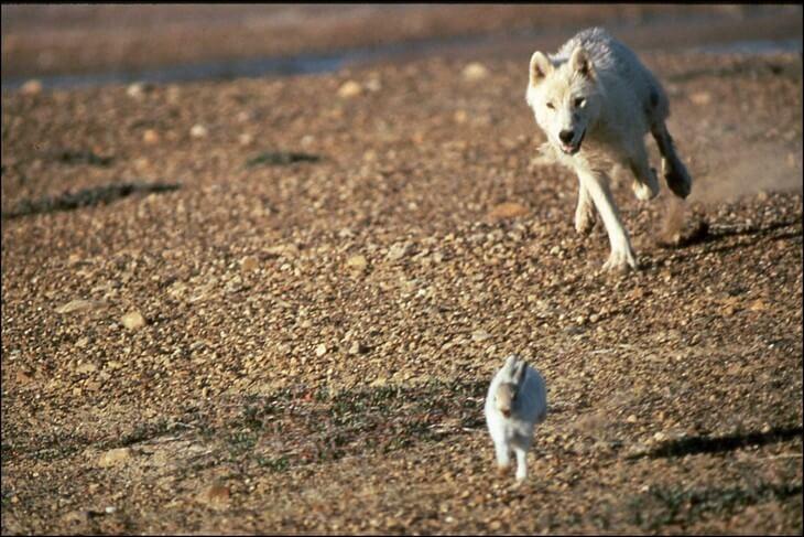 как ведут себя волки