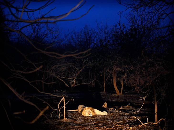 на каком материке проживает лев