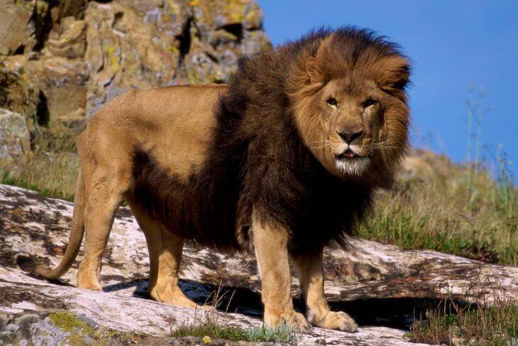 чем опасны львы