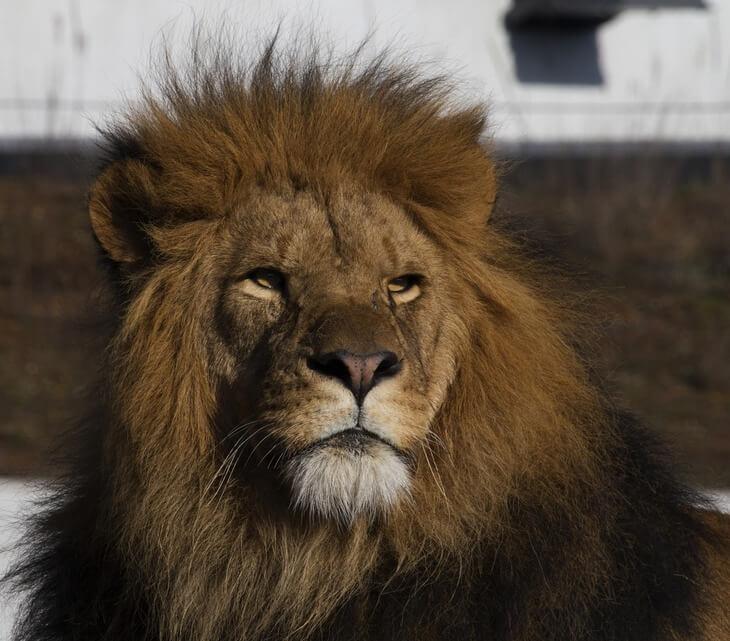 какие бывают львы