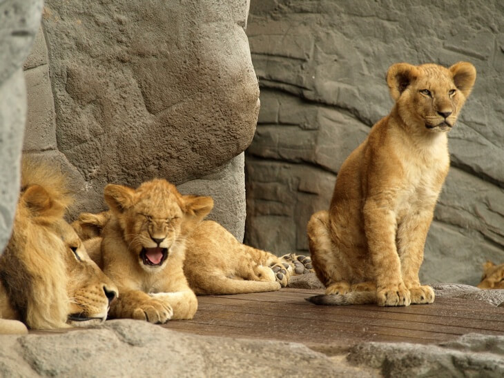 когда львов изгоняют из семьи