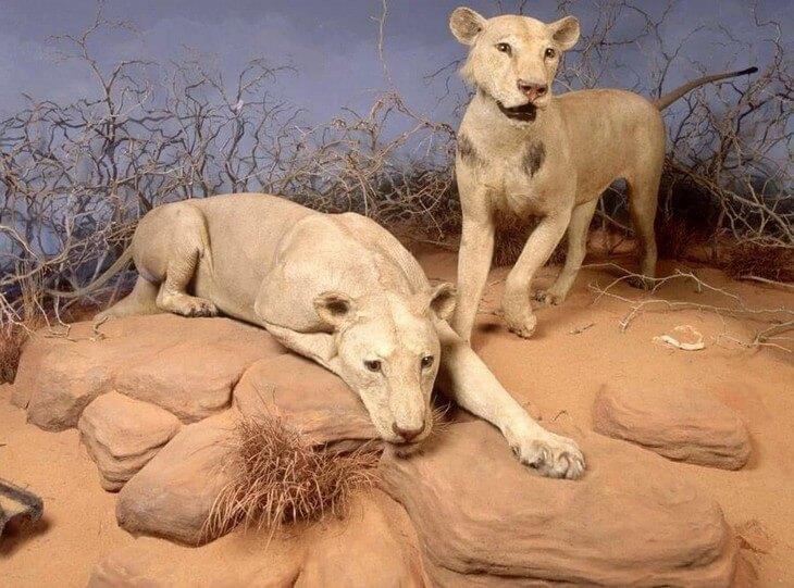 фото львов людоедов