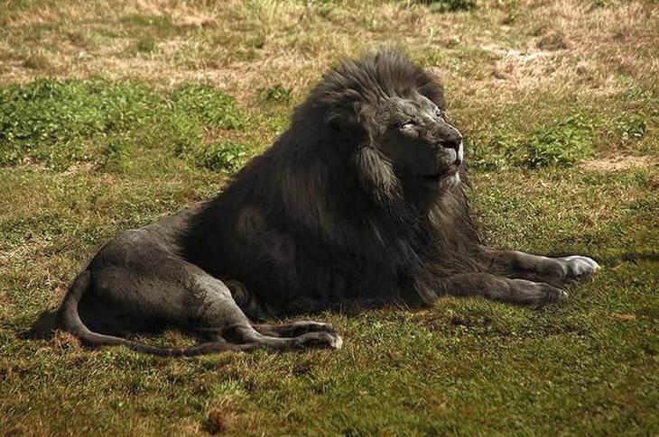 как выглядит Чёрный лев