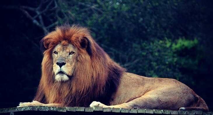 когда у льва появляется грива