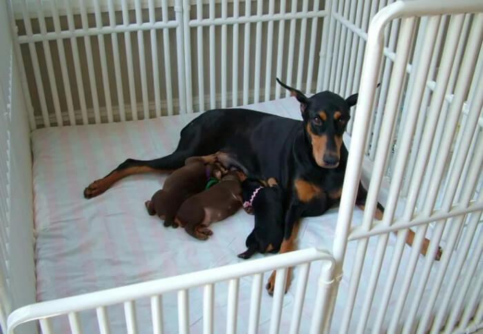 Сука доберман с щенками в вольере в квартире