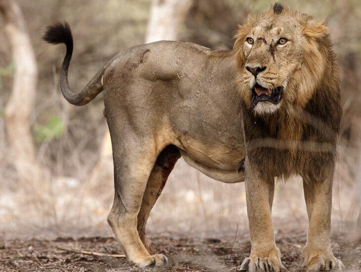 азиатский или персидский лев