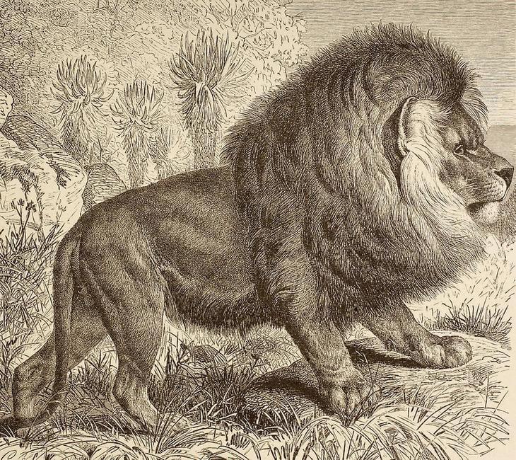 капский лев