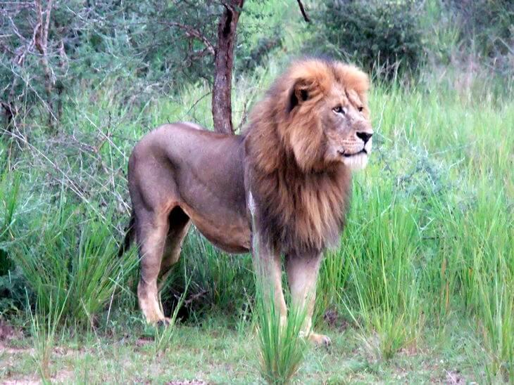 как выглядит Североконголезский лев