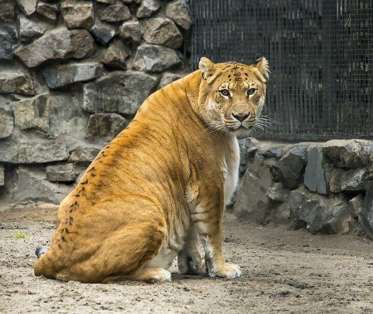 ибрида с львом-отцом и тигрицей-матерью