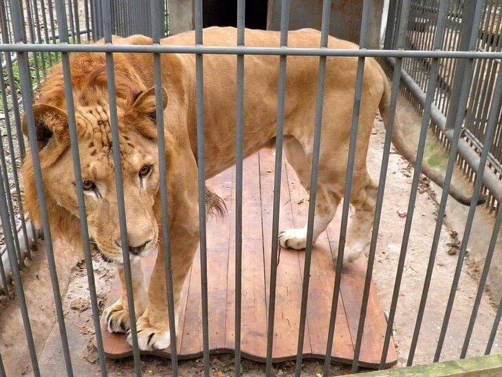 гибрид между львом-самцом и лигрицей-самкой