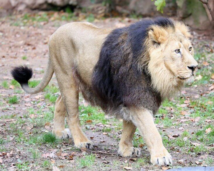 как выглядит Масайский лев