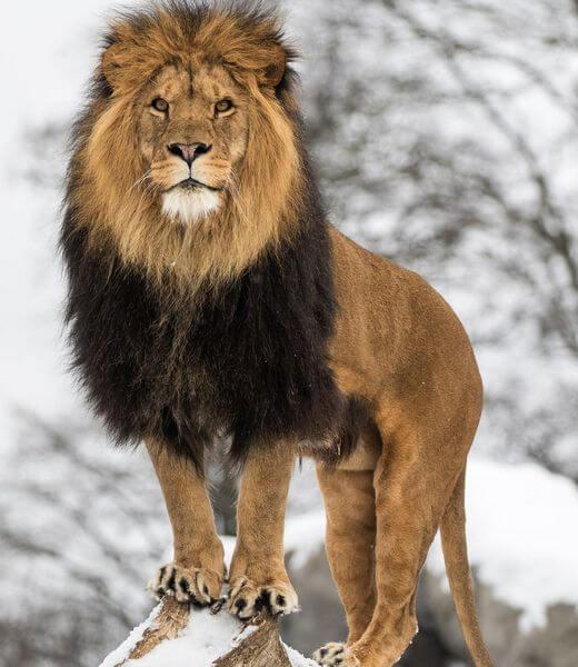 как выглядит Трансваальский лев