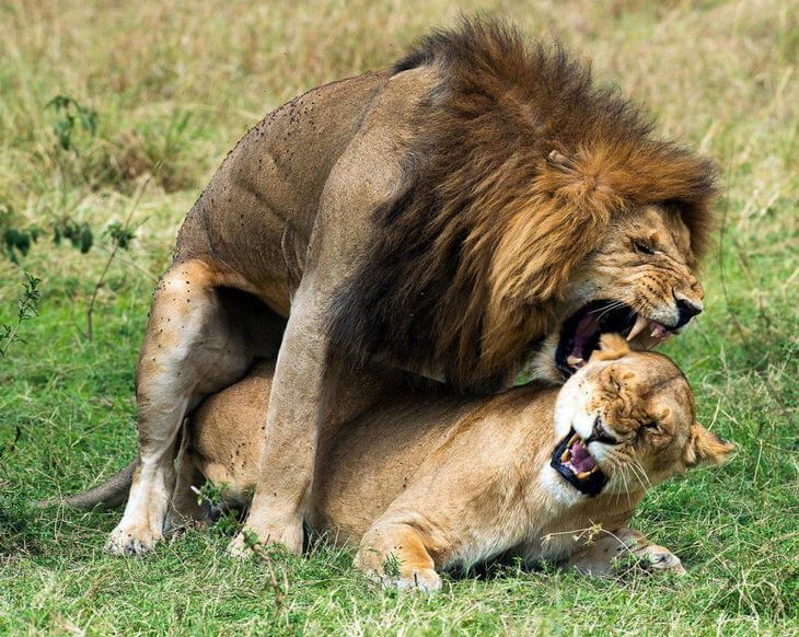 как львы занимаются спариванием
