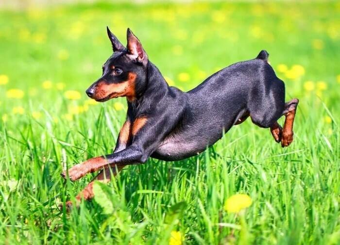 Какие собаки похожи на добермана
