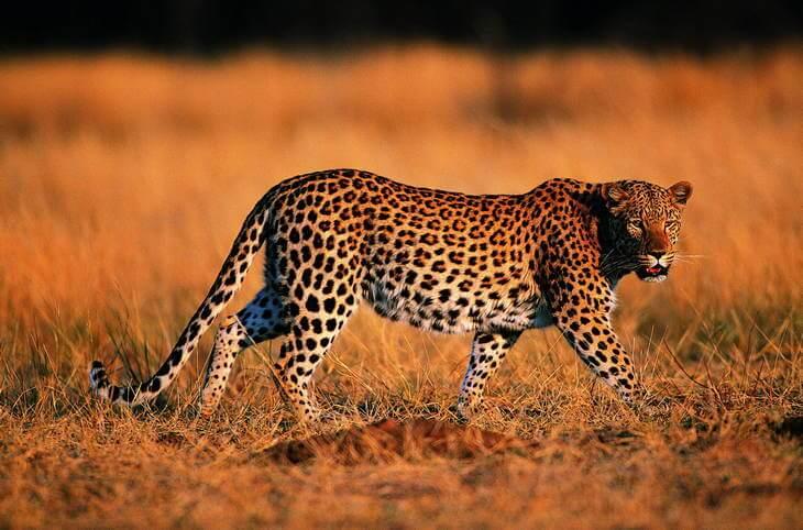 Естественные враги львов