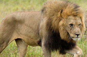 Львы Где обитает, как выглядит, чем питается, факты, фото и видео