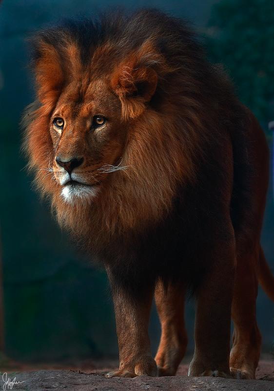 сколько весит грива льва