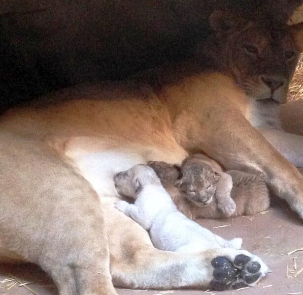 Новорожденные львята