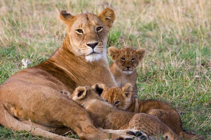 львица кормит львят