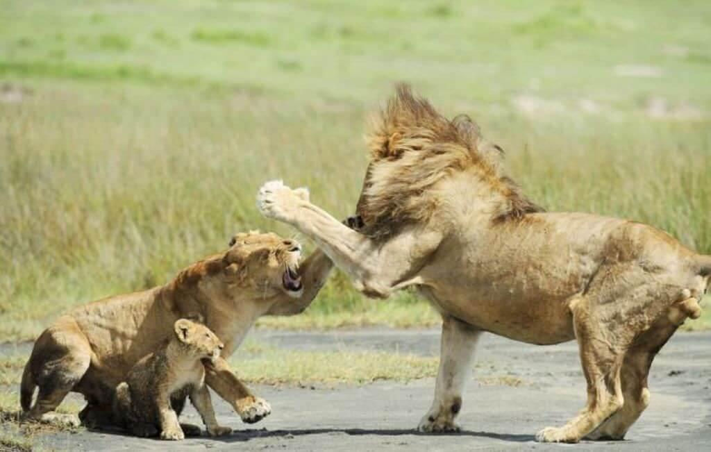 Как львицы защищают своих львят от львов