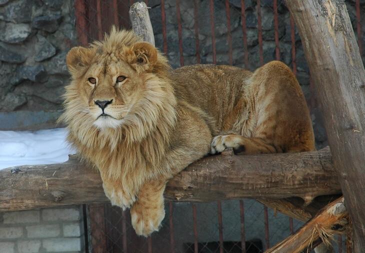 где можно встретить льва