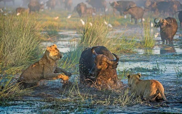 Как лев охотится на животных