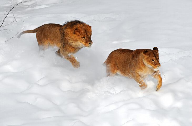 где можно увидеть льва