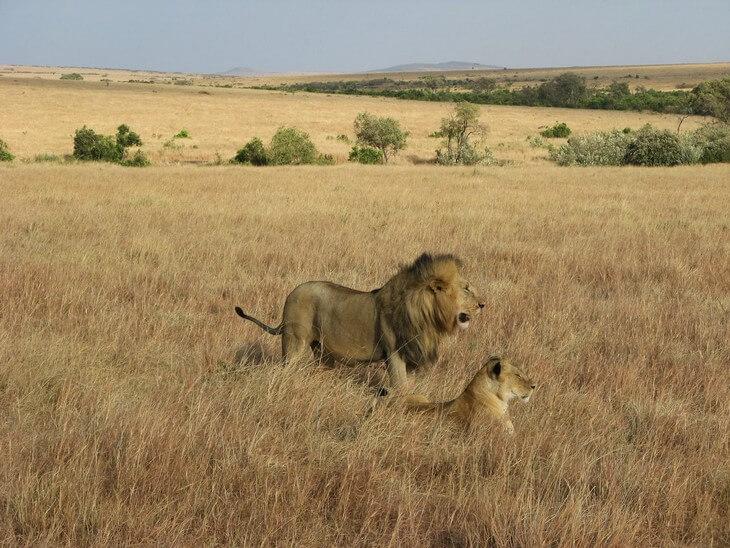 где появились львы