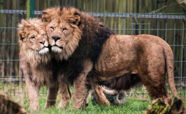 сколько живет лев продолжительность жизни