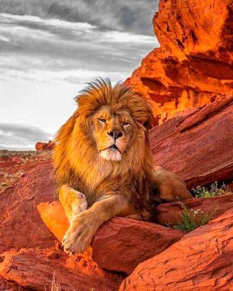 самый большой лев