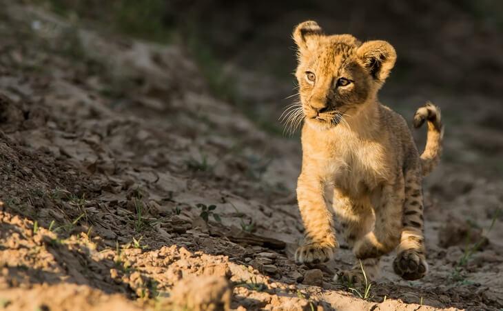 сколько детенышей рождается у льва