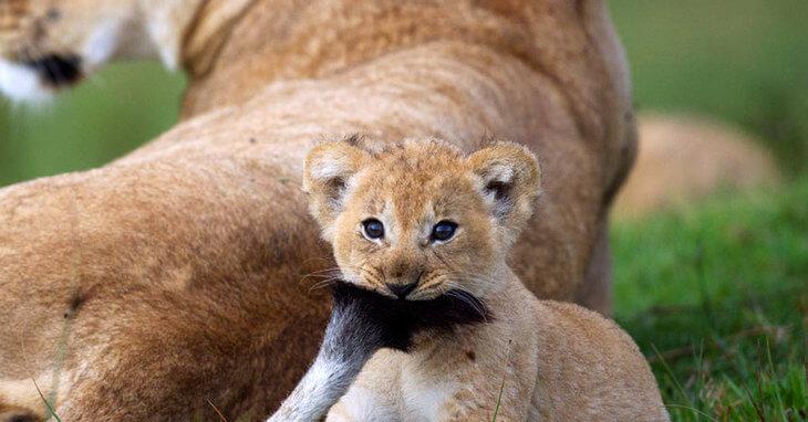 жизнь льва