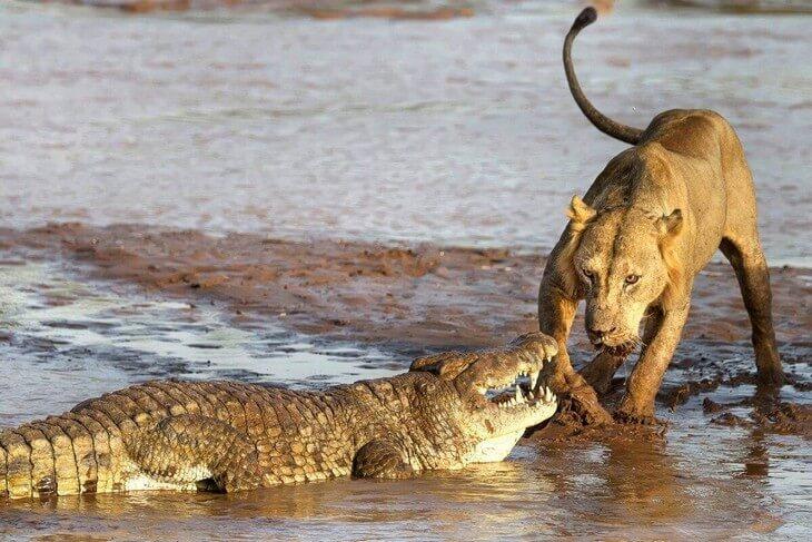 кто может съесть труп льва