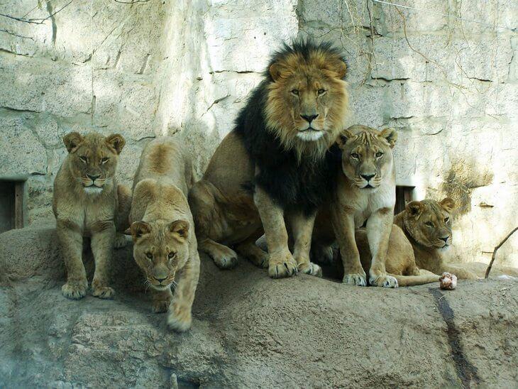 самка льва как называется