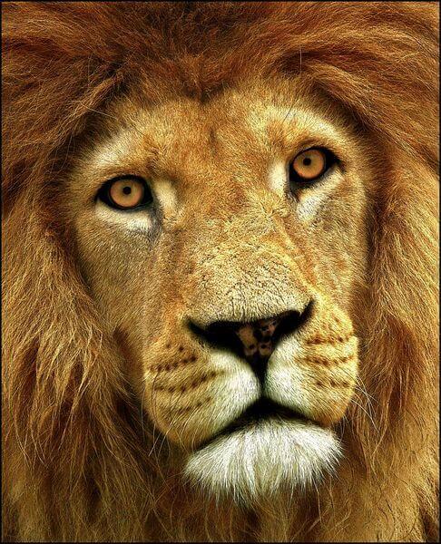 цвет льва