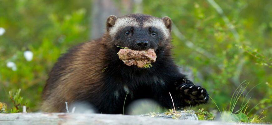Росомаха животное Кто это такая, среда обитания, размеры, интересные факты