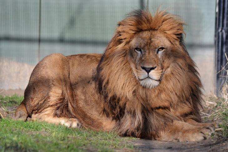сколько весит лев самый большой