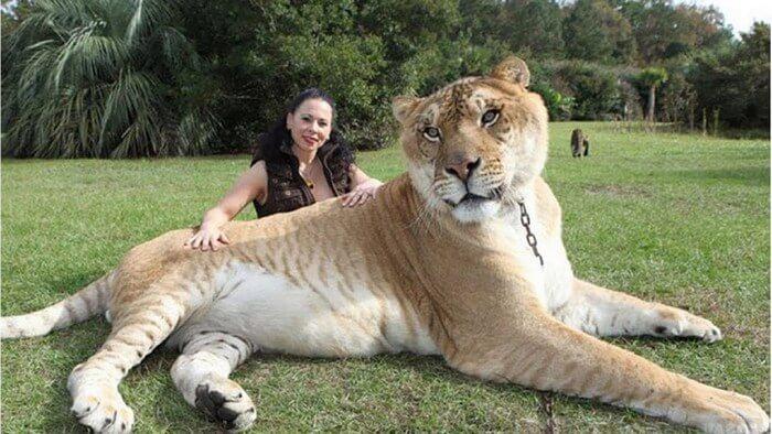 Самый крупный лев в мире