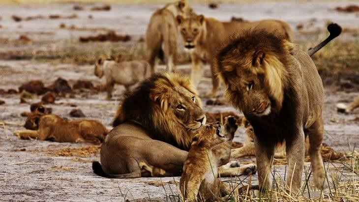 Что львы делают в прайде