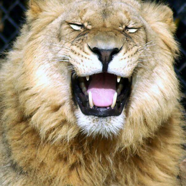 Мимика льва