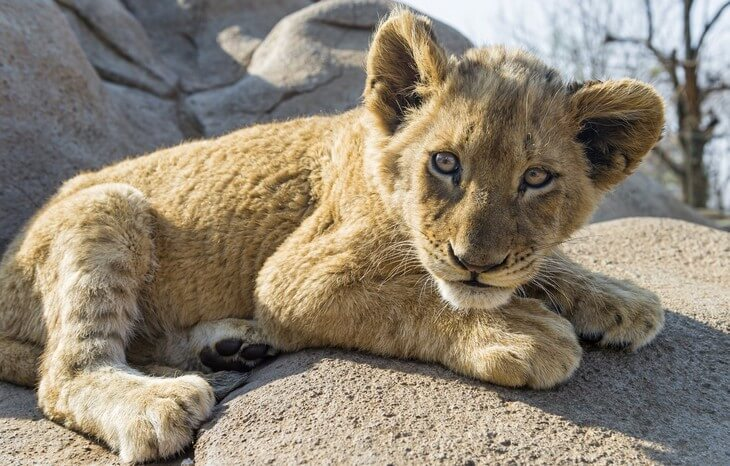 когда у льва вырастает грива