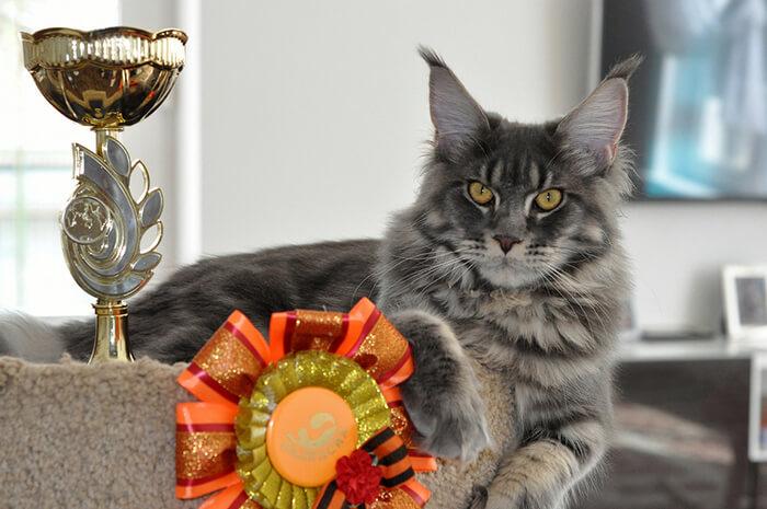 мейн кун фото взрослого кота