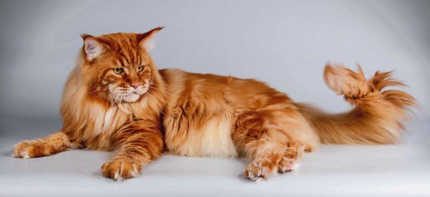 Мейн-кун порода кошек: история, уход, чем кормить, вес, сколько живут,как назвать