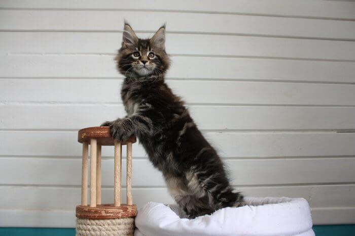 как дрессировать кота мейн куна