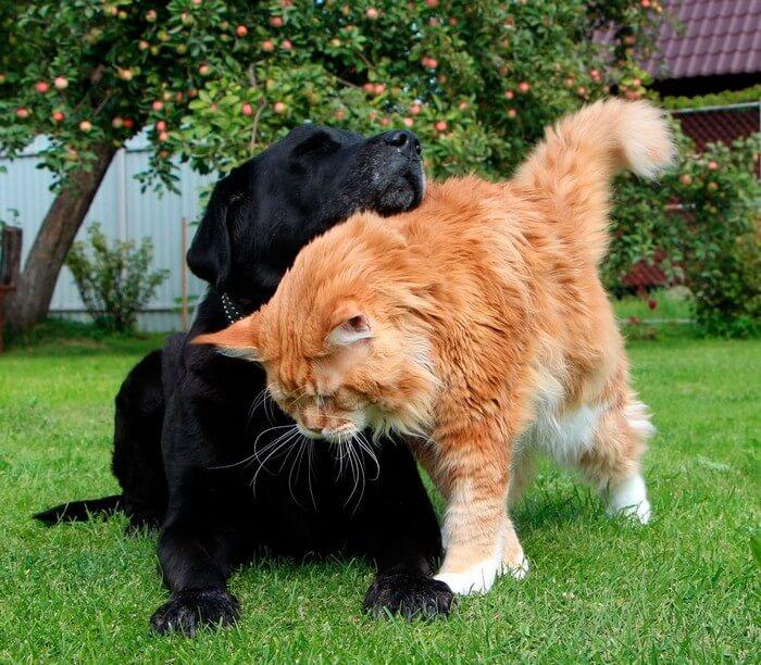 как мейн кун уживается с другими кошками