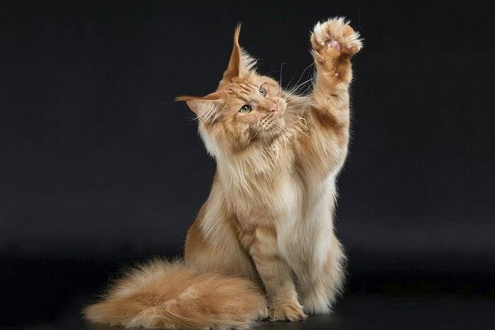 мейн кун когда кастрировать кота